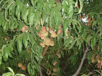 Персики в нашем саду