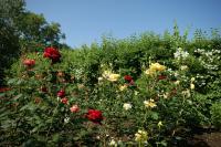 клумбовые розы - цветение в июне